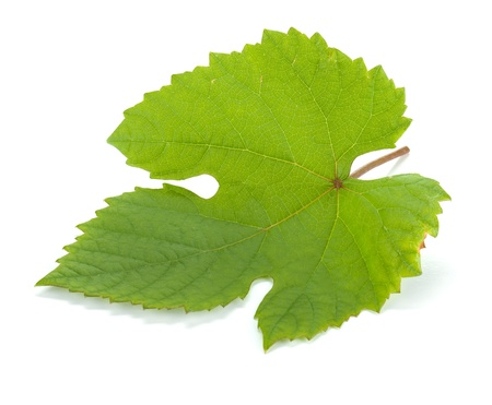 Grape leaf  Isolated on white background photo