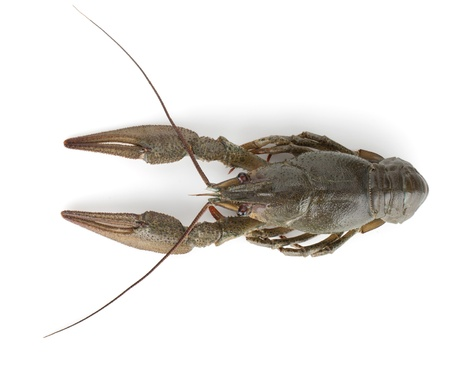 Crawfish. Isolated on a white background Stock Photo - 14823299
