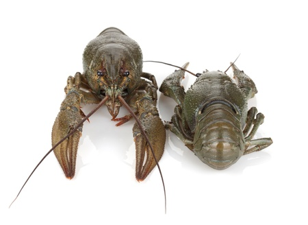 Two crayfishes  Isolated on a white background Stock Photo - 14893855
