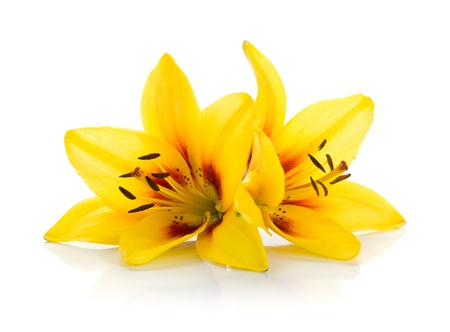 lily buds: Two yellow lily  Isolated on white background Stock Photo