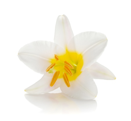 flower close up: White lily  Isolated on white background