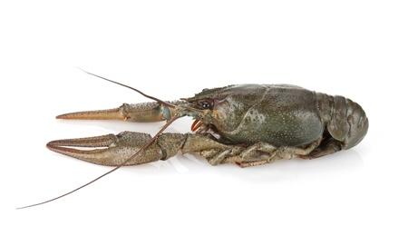 Crayfish. Isolated on a white background Stock Photo - 14971413