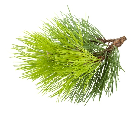 Fir tree branch. Isolated on white background photo
