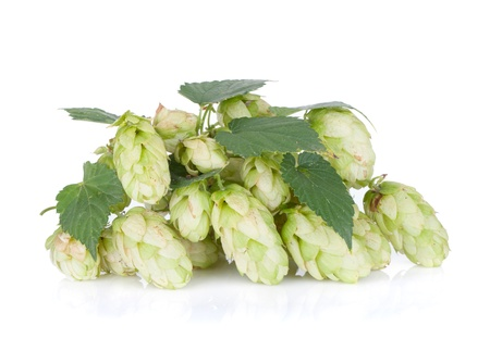 Blossoming hop with leaves  Isolated on white background photo