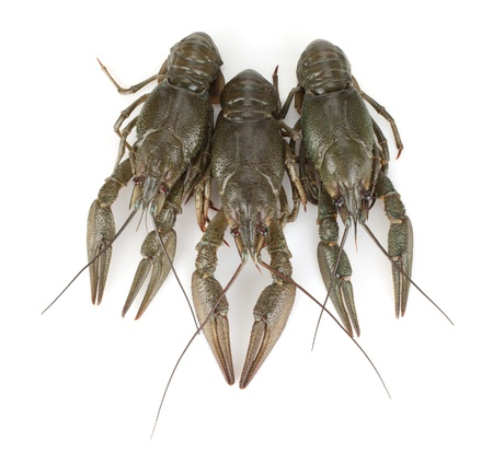 Three crayfishes. Isolated on a white background Stock Photo - 15788082