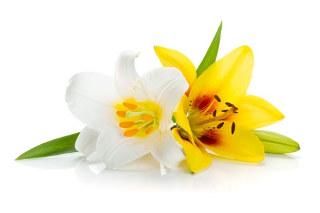 lirio blanco: Blanco y amarillo lirio. Aislado sobre fondo blanco Foto de archivo