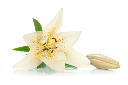 lirio blanco: Lirio blanco con brotes y hojas verdes. Aislado sobre fondo blanco