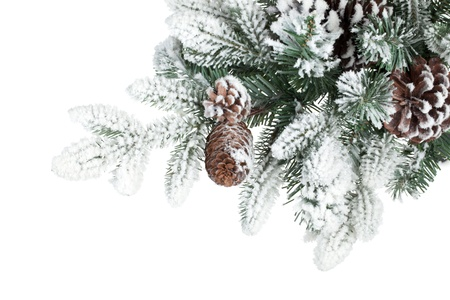 Fir tree branch with cones covered with snow. Isolated on\ white background
