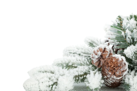 frost covered: Fir tree branch covered with snow  Isolated on white background