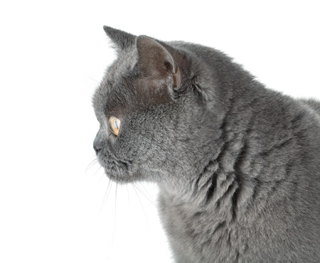 sideview: Closeup portrait of a grey cat. Isolated on white background