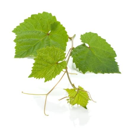vine border: Grape vine. Isolated on white background