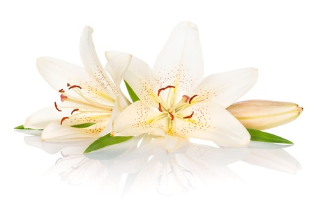 Two white lily flowers. Isolated on white background