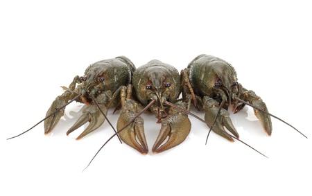 crayfish: Three crayfishes. Isolated on a white background