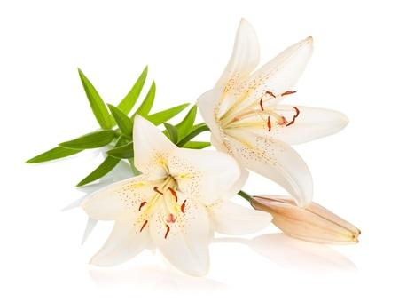 Twee witte lelie bloemen geà ¯ soleerd op witte achtergrond