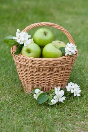 Ripe green apples with flowers in basket on green grass photo