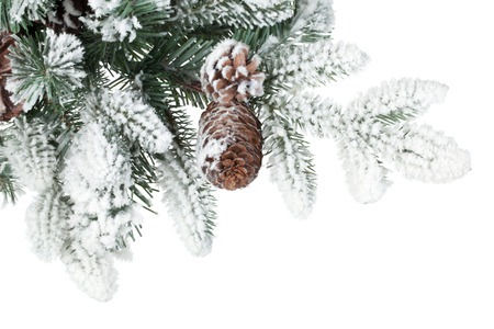 frost covered: Fir tree branch with cones covered with snow. Isolated on white background