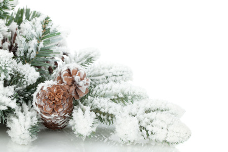 frost covered: Fir tree branch covered with snow. Isolated on white background