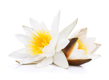 Water lily. Isolated on white background photo