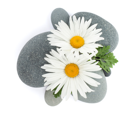 Daisy camomile flowers over sea stones. Isolated on white background photo