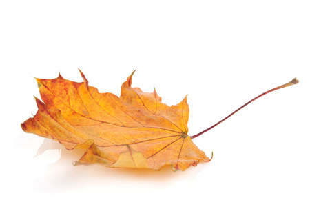 Colorful autumn maple leaf. Isolated on white background photo