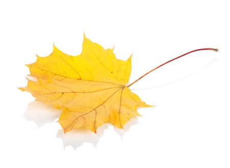 Colorful autumn maple leaf. Isolated on white background photo
