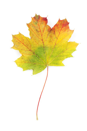 Colorful autumn maple leaf. View from above. Isolated on white background photo