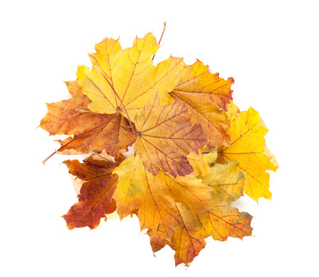 Colorful autumn maple leaves. Isolated on white background photo