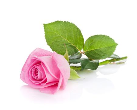 핑크 장미 꽃입니다. 흰색 배경에 고립