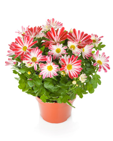 Potted plants: Potted flower. Isolated on white background Stock Photo
