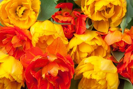 bouquet de fleurs: tulipes colorées fleurs bouquet closeup