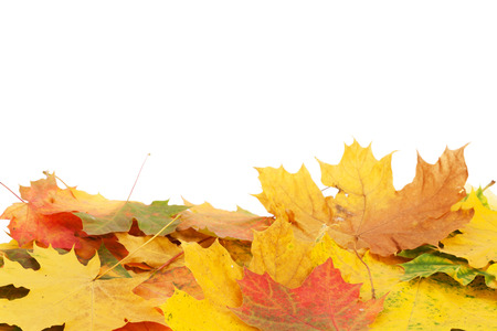 Colorful maple leaves. Isolated on white background