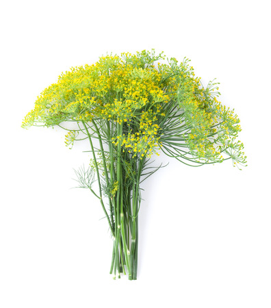 dill: Fresh garden herbs. Blossom dill. Isolated on white background