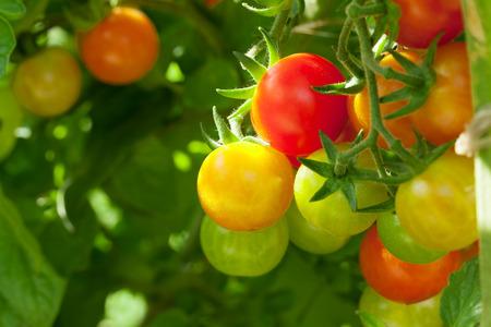 tomates: tomates cherry de cosecha propia en el jardín Foto de archivo