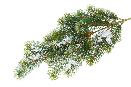 snow and trees: Fir tree branch covered with snow. Isolated on white background