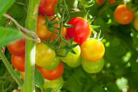 homegrown: Homegrown cherry tomatoes in garden Stock Photo