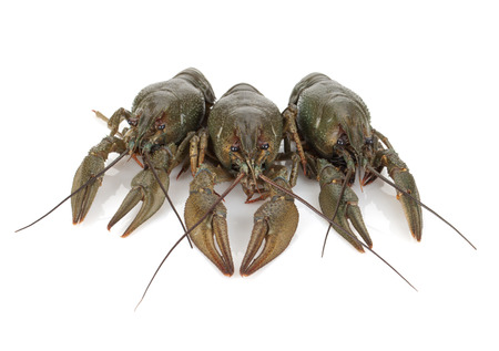 raw lobster: Three crayfishes. Isolated on a white background
