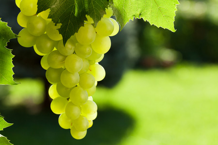 Vine and bunch of white grapes in garden