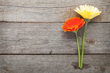 daisies: Two colorful gerbera flowers on wooden table with copy space
