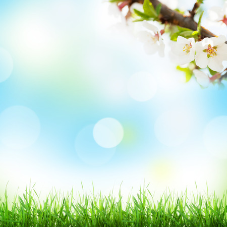 blossom tree: Abstract sunny spring background with grass and cherry blossom