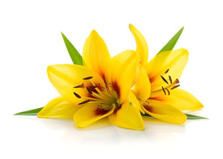 Dwie żółte lilia. Pojedynczo na białym tle