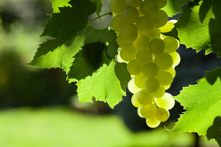 bunch of grapes: Vine and bunch of white grapes in garden