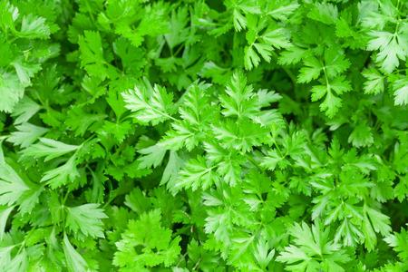 Fresh garden green parsley herb