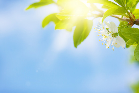 Apple blossom spring tree in front of sunny blue sky with copy space