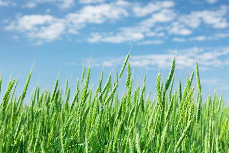 blue summer sky: Green wheat field blue sky on a sunny summer day