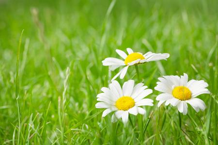 campo de flores: flores de manzanilla en campo de hierba en el día soleado de verano. Ver con espacio de copia