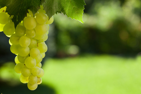 Vine and bunch of white grapes in garden Фото со стока - 73354843