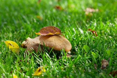 Autumn mushrooms on grass meadow. View with copy space