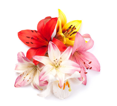 Colorful lily flowers. Isolated on background