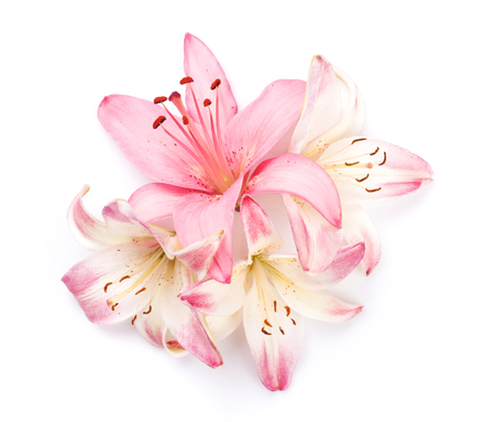 Pink lily flowers. Isolated on background Foto de archivo