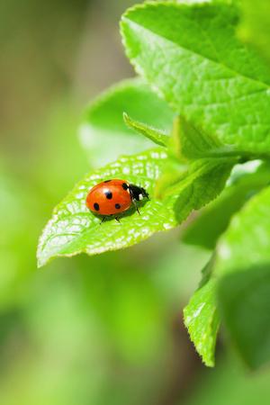 Ladybug on green leaf in garden. View with copy space Zdjęcie Seryjne - 98005020